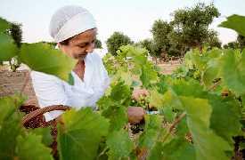 Raccolta dell'uva Masseria Il Frantoio Ostuni